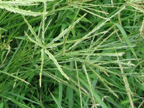 Hướng dẫn gội đầu bằng cỏ mần trầu tại nhà ngăn rụng tóc